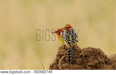 Red and yellow Barbet (trachyphonus e. erythrocephalus) 0n a termite mound in the Tarangire National Park, Tanzania