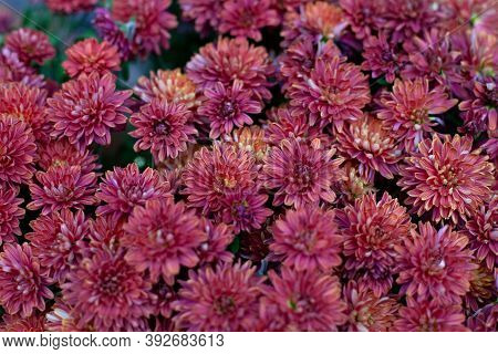 Close Up Photo Flowering Red Chrysanthemums In Autumn. Background With Blossoming A Chrysanthemums.