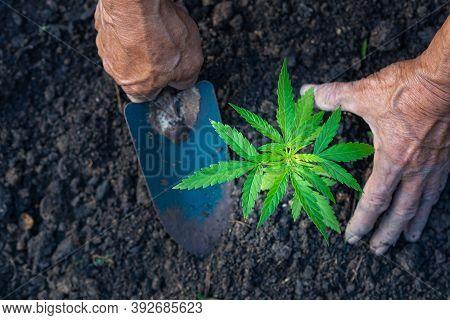 Close Up Of Farmer Hands Holding A Cannabis Plant. Space For Text. Farm Marijuana Plantation Concept