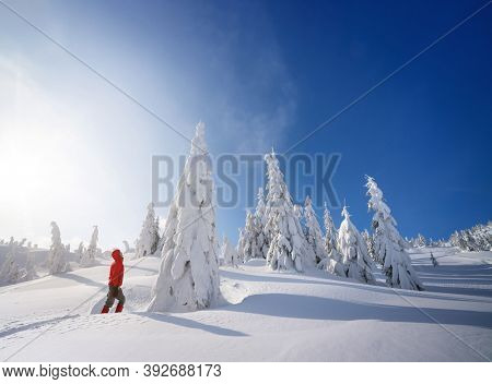 Mountain hiking in the winter. Fir trees in the snow. Sunny day with blue sky. Christmas view with snowdrifts after snowfall