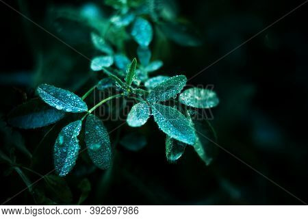 Macro Image Of Small Leaves Of Green Young Grass That Are Covered With Drops Of Pure Fresh Dew On A