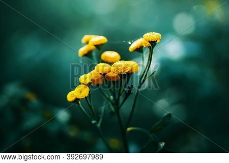 Macro Image Of Bright Yellow Flowers With Thin Threads Of Spider Web, Which Are Covered With Drops O