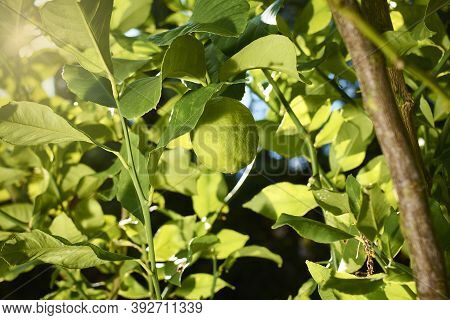 A Lemon Ripens And Grows On The Branch Of A Lemon Tree In The Sun Outdoors, Next To Branches And Lea