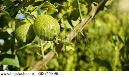 Lemons Growing And Ripening On The Branch Of A Lemon Tree, With Leaves And Branches In The Backgroun