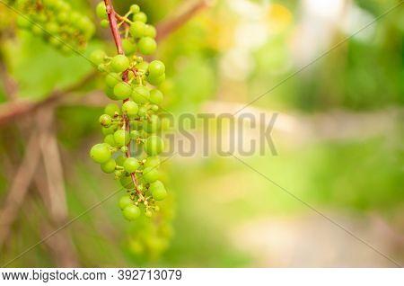 Fresh Grape Vine Fruits Against Blurred Sunny Summer Background With Copy Space. Vitis Vinifera.