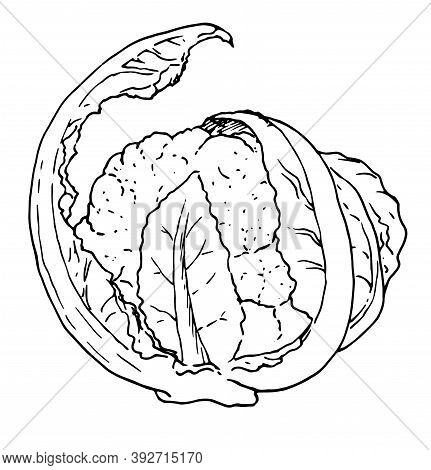 Linear Drawing Of Cauliflower In A Sketch Style With A Black Line On A White Background. Cauliflower