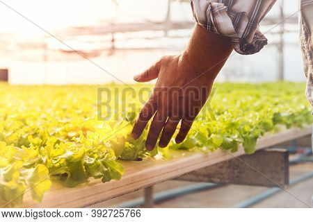 Entrepreneurial Hand, A Useful Hydroponic Farm Vegetable Farmer, Use His Hands To Touch The Green Le