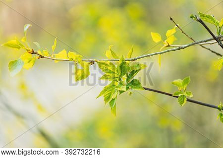 Young Spring Green Leaf Leaves Growing In Branches Of Forest Bush Plant Tree. Young Leaf In Sunlight
