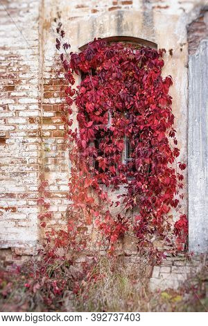 A Window On An Old Stone House Overgrown With Decorative Grapes. Red Leaves Virginia Creeper (parthe