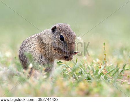 European ground squirrel in natural habitat (Spermophilus citellus)