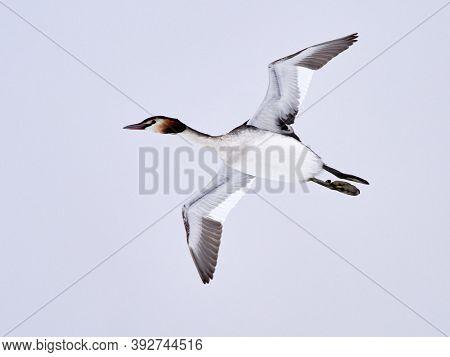 black cormorant (phalacrocorax carbo) Danube Delta