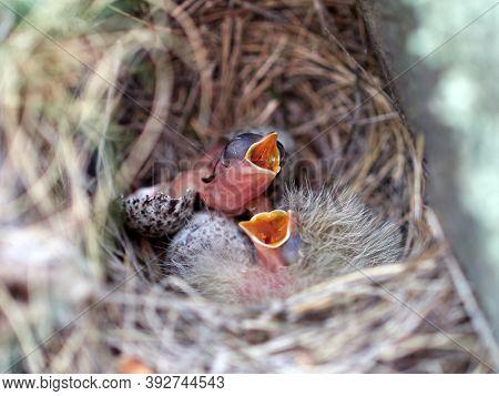 bird chicks in the nest in spring