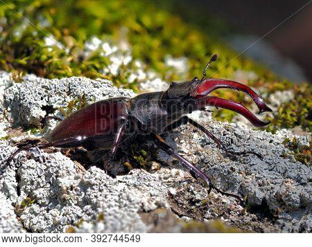 Stag Beetle - Lucanus cervus - in natural habitat