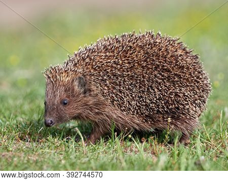 European hedgehog ( Erinaceus europaeus) in natuiral habitat