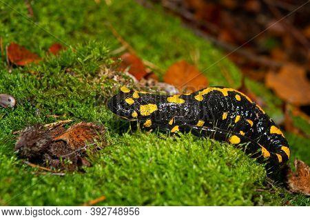 Closeup Of A Beautiful Fire Salamander (salamandra Salamandra) In The Forest, Wachau (austria)