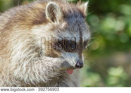 The Raccoon Is An Omnivore, Originally Also From North America And Is Now Also A Small Nuisance In C