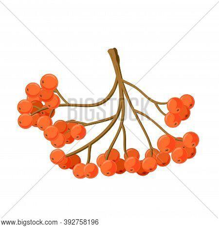 Vector Illustration Eps10 Isolated On White Background. Realistic Autumn Nature Symbol, Rowanberries