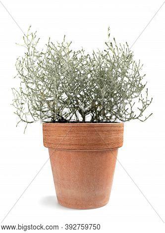 Cushion Bush Plant In Vase Isolated On White