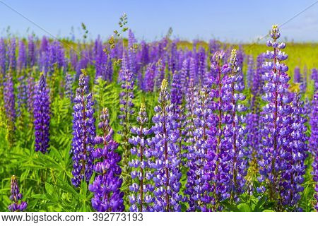 Purple Lupine Flower Closeup Outdoors.lupinus, Lupin, Lupine Field With Pink Purple And Blue Flowers