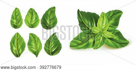 Realistic Detailed 3d Raw Green Fresh Basil Leaves Set. Vector Illustration Of Aromatic For Cooking