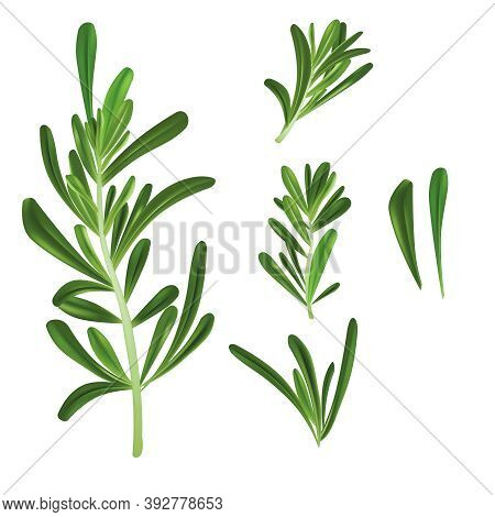 Realistic Detailed 3d Rosemary Culinary Herb Branch Set. Vector Illustration Of Plant And Cooking In