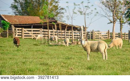 Flock Of Sheeps. Sheep Feeding In A Corral On A Small Rural Property. Farm Area In Brazil. Rural Lan