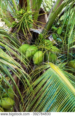 coconuts on a palm tree close up