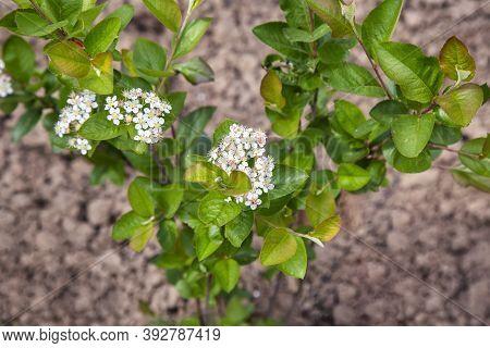 Flowering Aronia Melanocarpa Or Black Chokeberry In The Garden. Selective Focus.