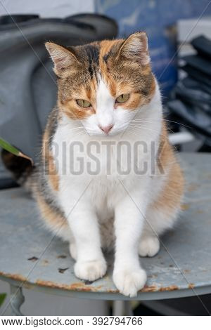 Abandoned Calico Breed Kitty Tricolor Female. Vertical Photo.