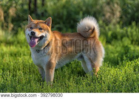Shiba Inu; Japanese National Dog Close Up
