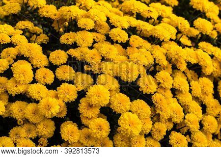 Selective Focus On Floral Background Wallpaper With Chrysanthemum Flowers, Colorful Autumn Mums