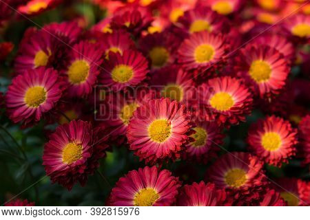Background Of Purple Chrysanthemums With An Orange Core Close-up View From Above. Chrysanthemums Blo