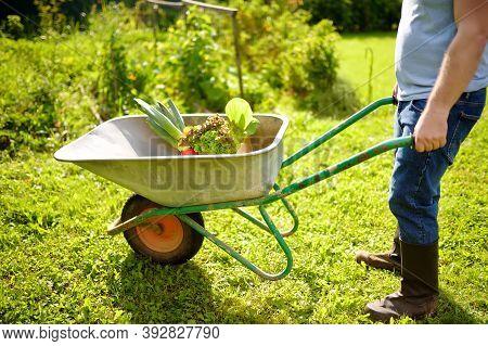 Farmer Pushing Wheelbarrow With Freshly Picked Organic Vegetables And Salad In Backyard. Healthy Hom