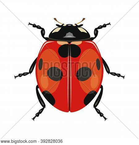 Ladybug Or Ladybird On White Background. Insect. Black-red Beetle. Vector Illustration.