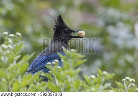 Steller's Jay Eating Peanut At Vancouver Bc Canada