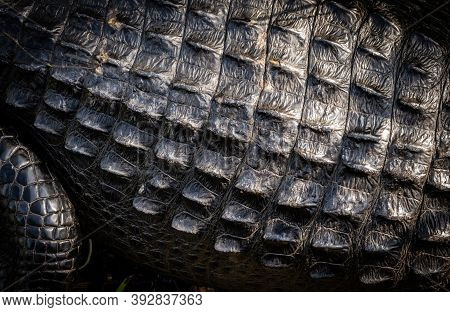 Texture Of Alligator Back And Scales Close Up