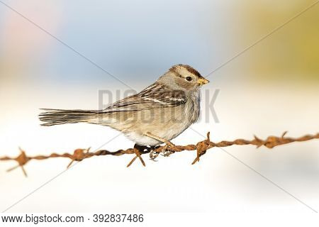 White Crowned Sparrow At British Columbia Canada; North American