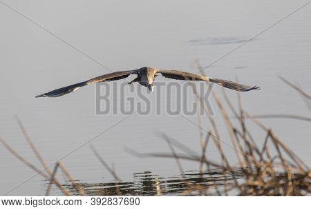 Great Blue Heron At British Columbia Canada; North American