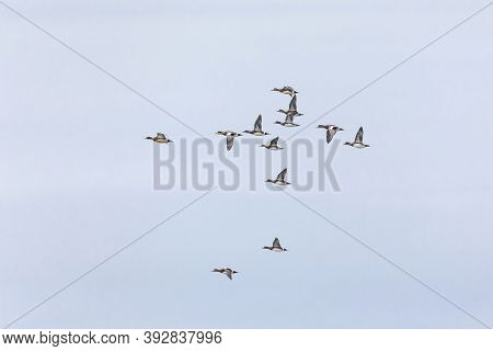 American Wigeon Duck At British Columbia Canada; North American