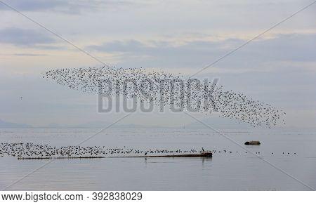 A Flock Of Dunlin Shorebird At British Columbia Canada; North American