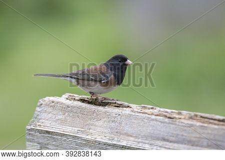 Dark Eyed Junco Bird At British Columbia Canada; North American