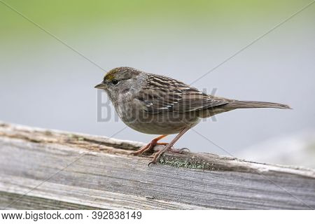 Golden Crowned Sparrow At British Columbia Canada; North American