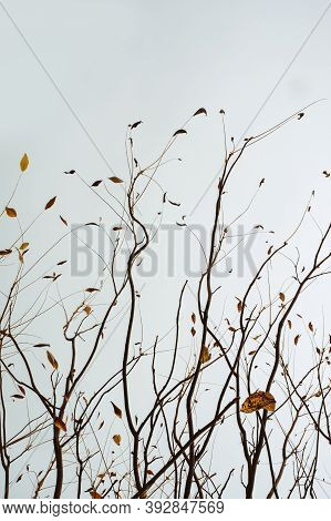 Restrained Beauty Of Nature, Yellow Autumn Leaves On Tree Branches Against Gloomy Blue Sky, Natural