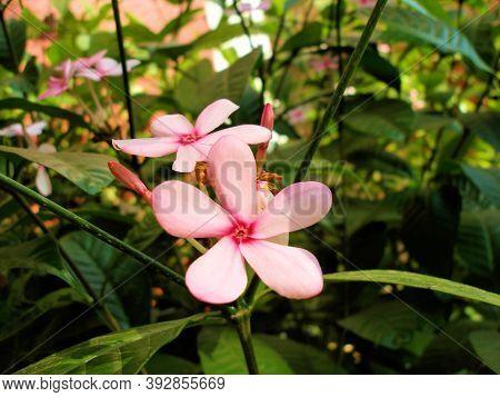 Tropical Pink Flower Kopsia Rosea On A Background Of Juicy Greenery