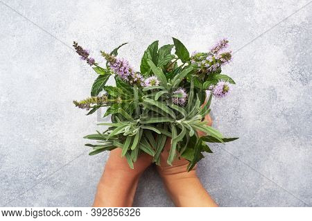 Bunches Of Fresh Sprigs Of Mint And Rosemary. Womens Hands Hold A Bouquet Of Fragrant Herbs. Grey Co