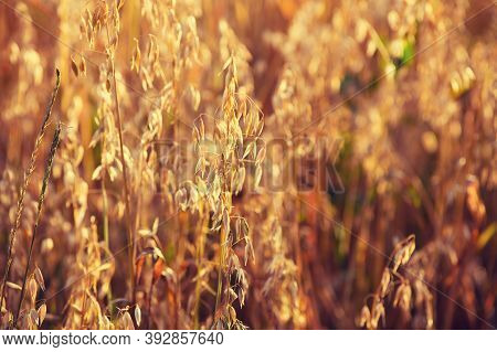 A Spike Of Oats In The Sunset Light