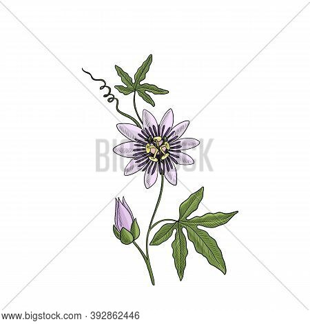 Vector Drawing Passiflora, Passion Flower, Passion Vines, Hand Drawn Illustration