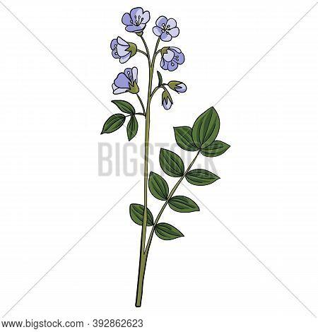 Vector Drawing Abscess Root, Polemonium Reptans, Hand Drawn Illustration Of Medicinal Plant