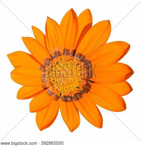 Blooming Orange Gazania Close-up Isolated On White Background. Square Photography. Top View Of A Flo