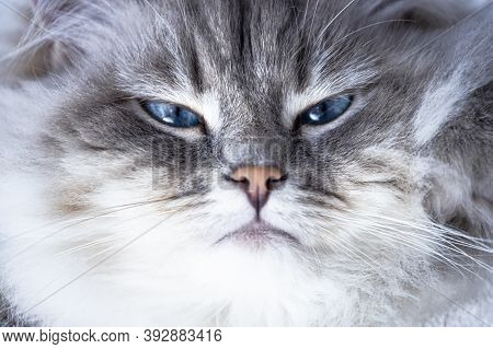 Portrait Of Big Wild Siberian Cat. Big Cats With Gentle Character. Neva Masquerade Siberian Pure Bre